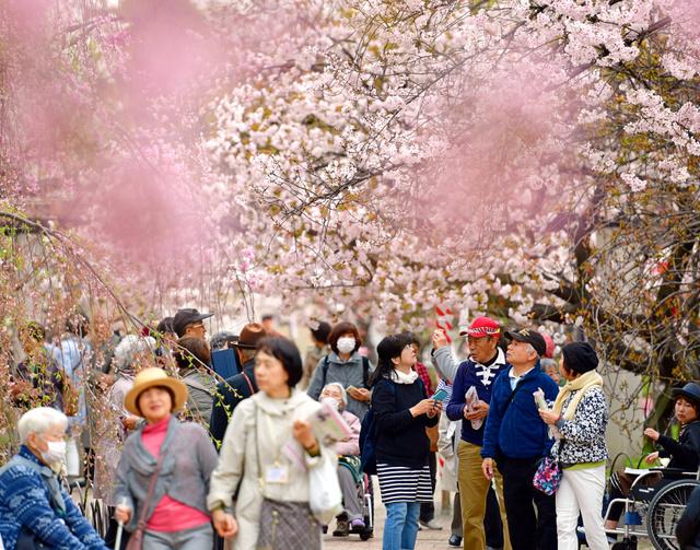 「桜の通り抜け」が始まるのを前に行われた特別観桜会=10日午前、大阪市北区、加藤諒撮影