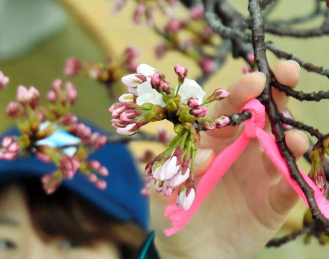 日和山公園の桜が開花した=9日、酒田市