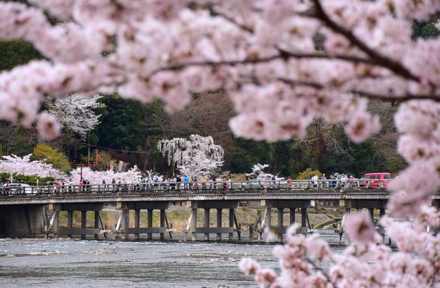 渡月橋周辺はちょうど満開。朝から大勢の人が訪れていた=10日、京都市右京区、松本江里加撮影