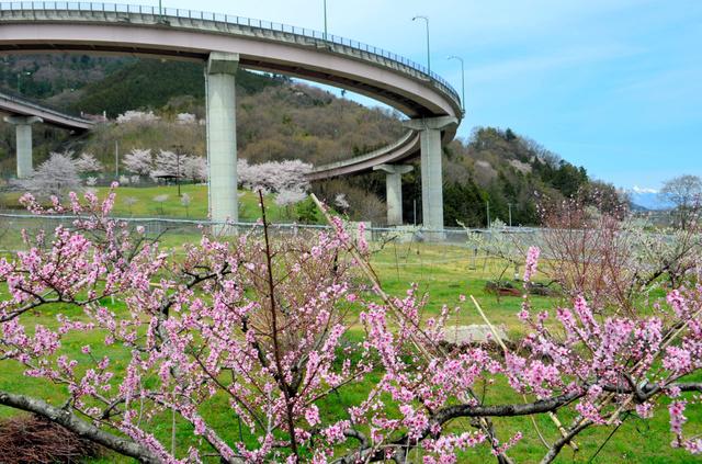 手前のモモに、ループ橋の中や上にはサクラが満開=南アルプス市