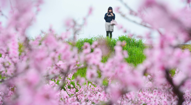 桃源郷の桃の花を楽しむ人=紀の川市