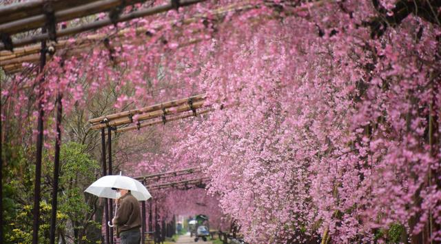 ピンクのヤエベニシダレザクラのアーチが、訪れる人を出迎える=京都市左京区の賀茂川沿い、松本江里加撮影