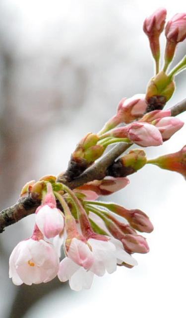 鶴岡市でもソメイヨシノが開花した=鶴岡公園