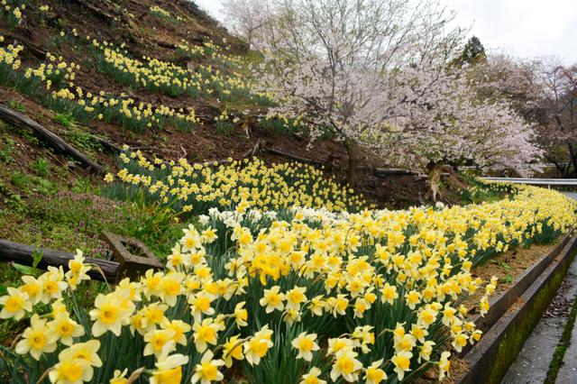 見ごろを迎えた桜とスイセン=新温泉町久谷