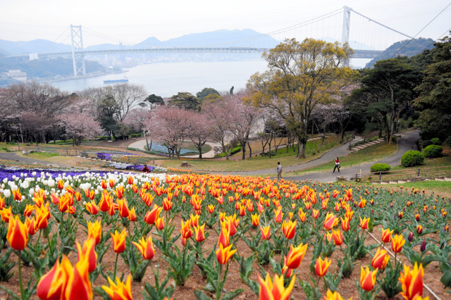 チューリップと桜の競演が楽しめる火の山公園トルコチューリップ園=下関市、全日写連谷山昇さん撮影