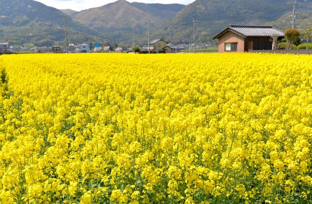 満開の菜の花畑=行橋市常松