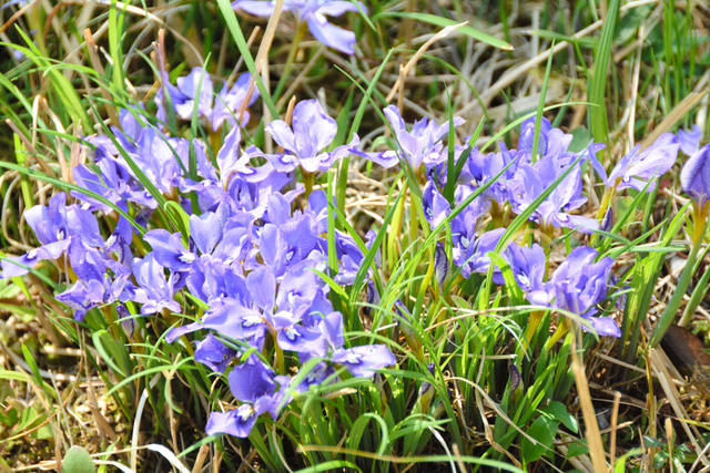 花が開いたエヒメアヤメ=防府市西浦