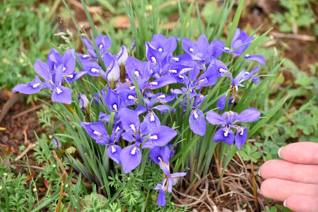 青紫色の美しい花を咲かせたエヒメアヤメ=下関市豊浦町、全日写連弘中輝夫さん撮影