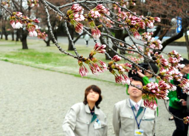 霞城公園でも桜が咲き始めた=山形市