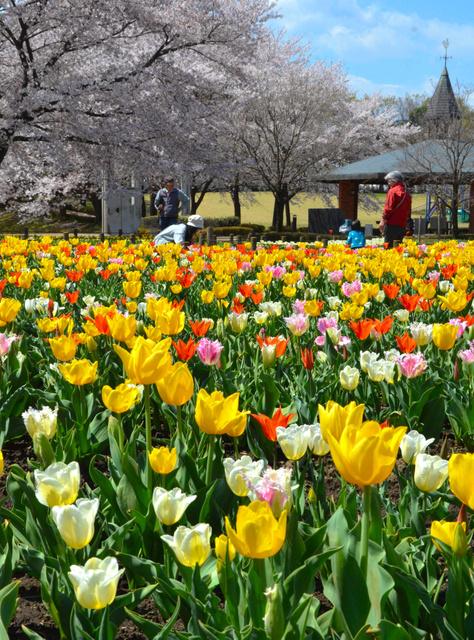 咲き始めたチューリップ。桜もまだ楽しめる=13日、深谷市樫合