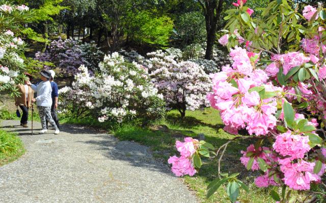 満開となったシャクナゲの花を楽しむ人たち=国富町深年