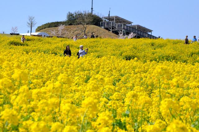 黄色い菜の花が咲き誇る花畑=淡路市楠本の「あわじ花さじき」