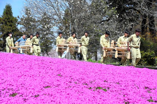 芝桜の丘にベンチを運び入れる秩父農工科学高の生徒ら=秩父市