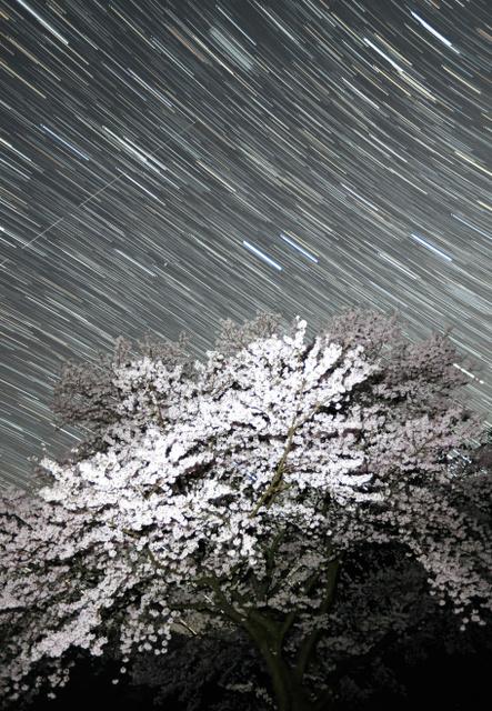 満天の星に包まれるソメイヨシノ=和歌山県紀美野町、内田光撮影(19時56分から20時16分まで61枚を比較明合成)