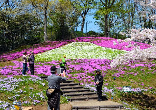 シバザクラの色で富士山が表現されている=二宮町