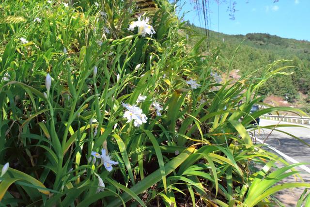 咲き始めたシャガの花=田辺市本宮町