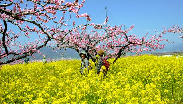 満開の菜の花とモモの中を散策できる=笛吹市御坂町竹居