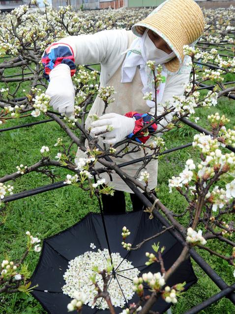 ナシの種花の摘み取りに励む栽培農家=鳴門市大麻町