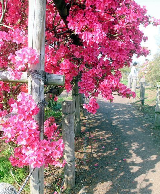 鮮やかに咲くツツジ=館林市花山町