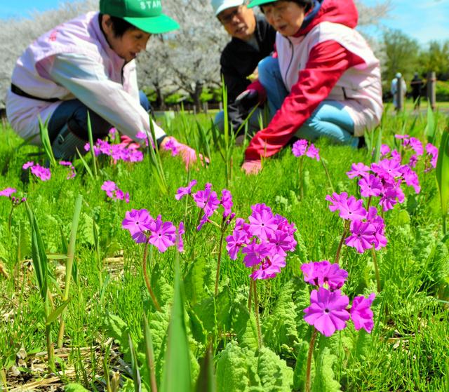 チェリークラブのメンバーが世話をする彩湖湖畔のサクラソウ。今年は開花が遅れ、いまが見頃だ=戸田市