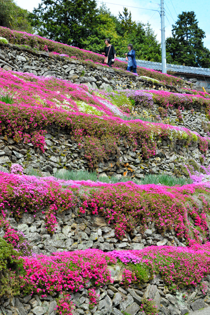 石垣にシバザクラのピンク色が映える=吉野川市美郷