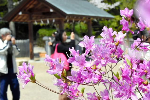 見頃を迎えたコバノミツバツツジ=西宮市の広田神社