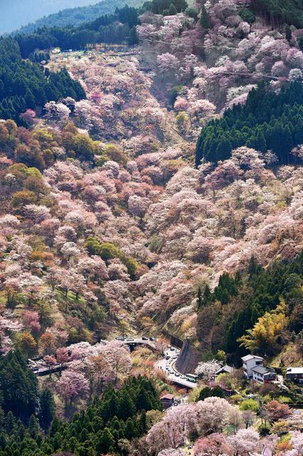 見頃を迎えた吉野山の桜=16日、奈良県吉野町、朝日新聞社ヘリから、井手さゆり撮影