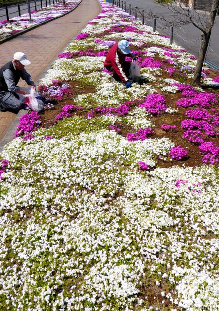 満開になった芝桜の手入れをする里親グループのメンバーら=取手市宮和田