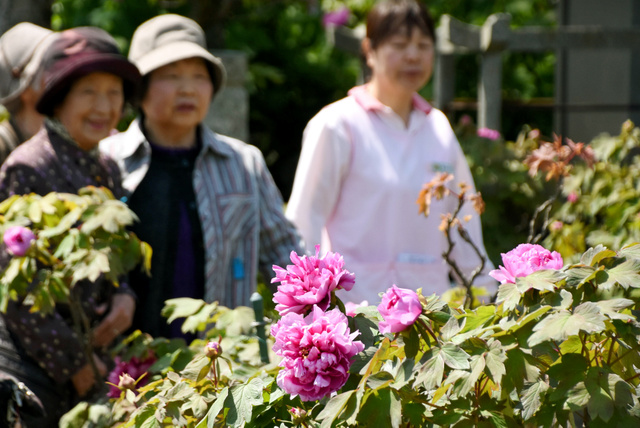 見頃を迎えたボタンの花=西条市小松町北川