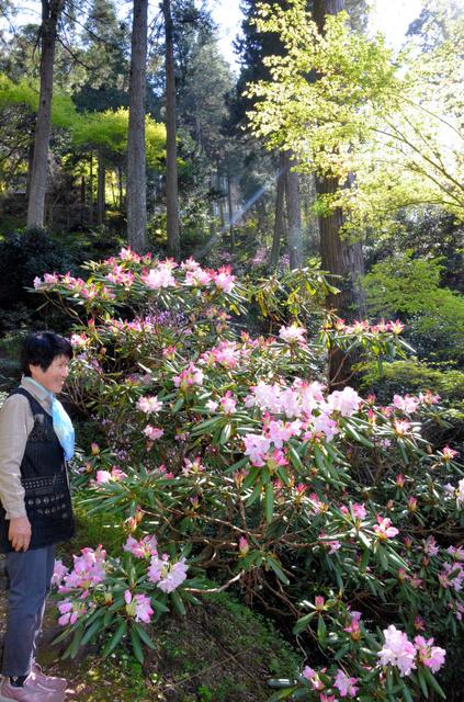 春の陽光を浴びて咲いたシャクナゲ=大洲市