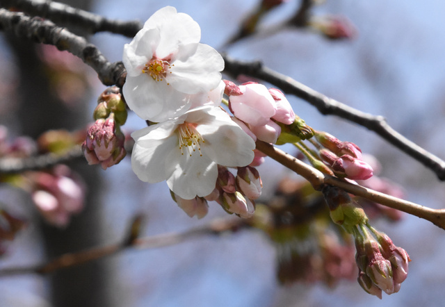 開花したソメイヨシノ=青森市の青森地方気象台