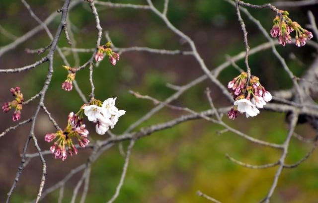 花を咲かせた標本木の桜=盛岡市内丸