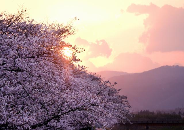 満開の桜並木の奥に夕日が沈んでいった=福島県浪江町、竹花徹朗撮影