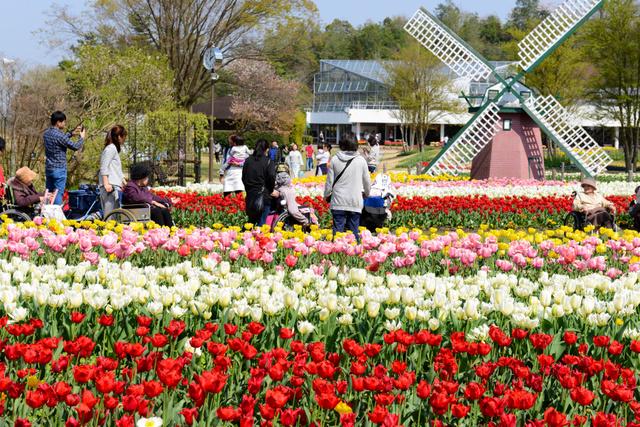 県立フラワーセンターで色とりどりの花を咲かせるチューリップ=加西市