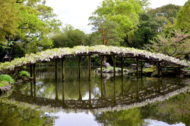 白い花を咲かせた白玉上り藤=宇和島市