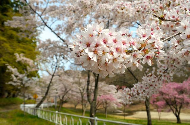 坂下ダムの遊歩道に咲くソメイヨシノ=大熊町大川原