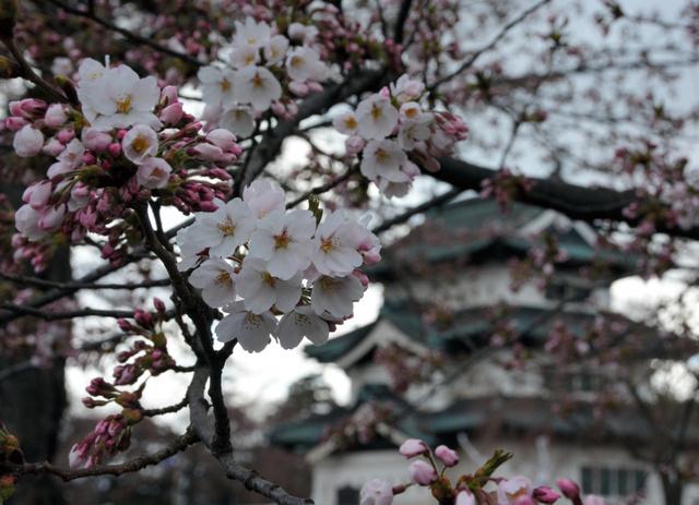 弘前城天守の周りのソメイヨシノも一斉に咲き始めた=弘前公園本丸