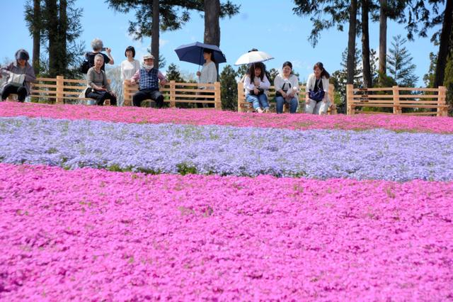 汗ばむ陽気の中、観光客でにぎわう「芝桜の丘」=秩父市