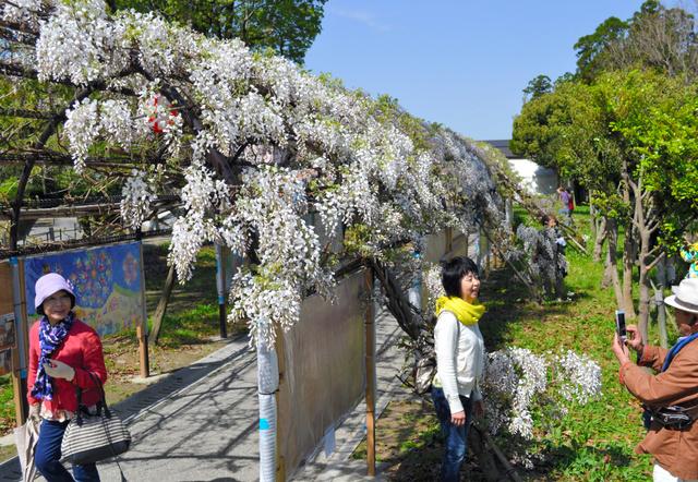 見ごろを迎えた「中山の大藤」=柳川市