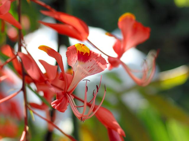 鮮やかな朱色と花びらの開き方が特徴的なヨウラクボク=県立青島亜熱帯植物園