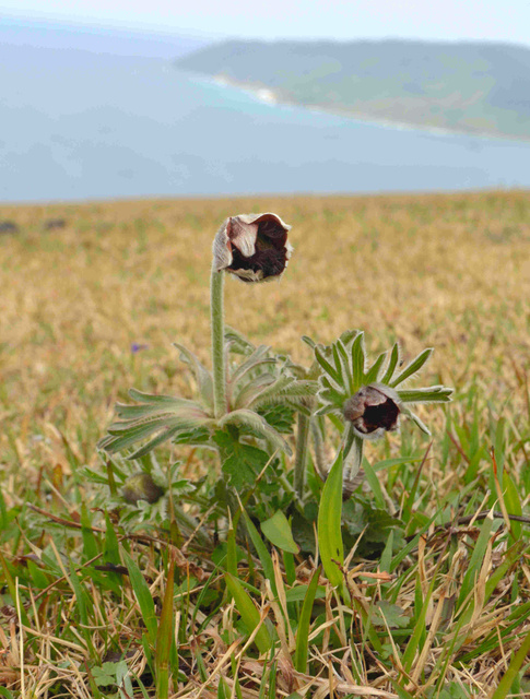都井岬に咲いたオキナグサ。環境省から絶滅危惧種に指定されている=串間市