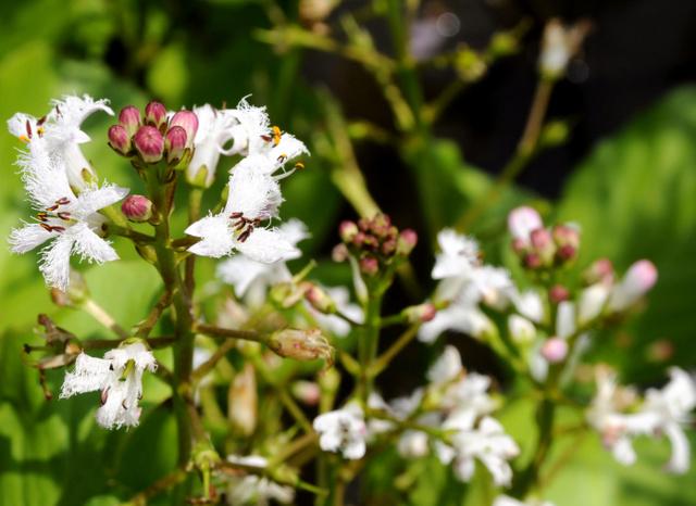 可愛らしい白い花を咲かせたミツガシワ=下関市、全日写連谷山昇さん撮影