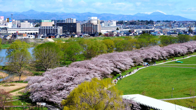 展勝地の桜並木=北上市