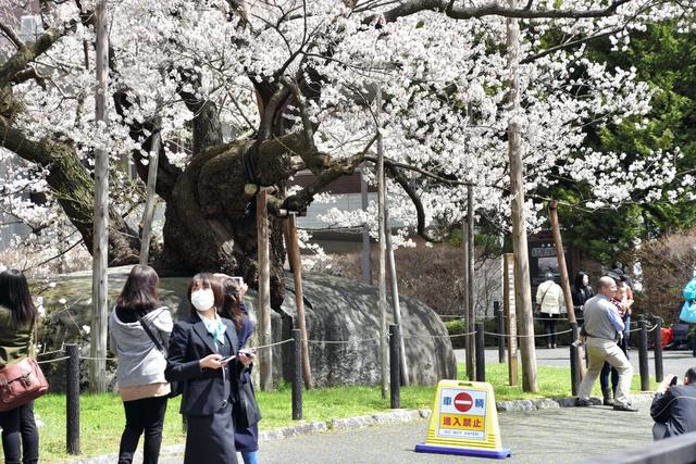 見頃を迎えた石割桜=盛岡市内丸
