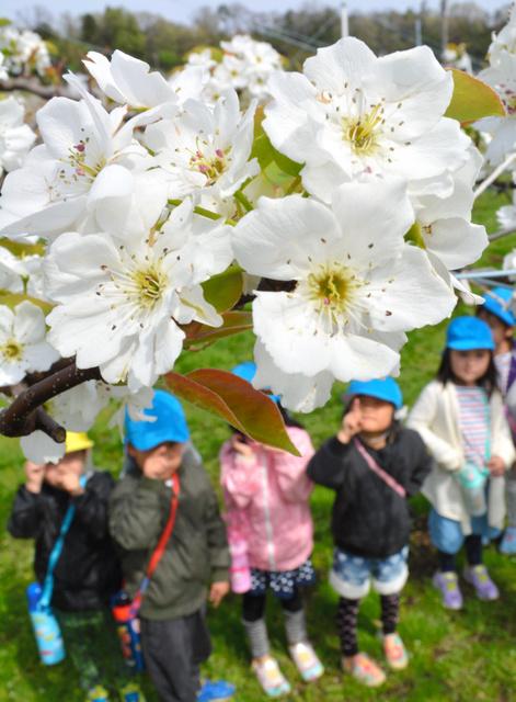 満開のナシのお花見を楽しむ子どもら=加賀市奥谷町