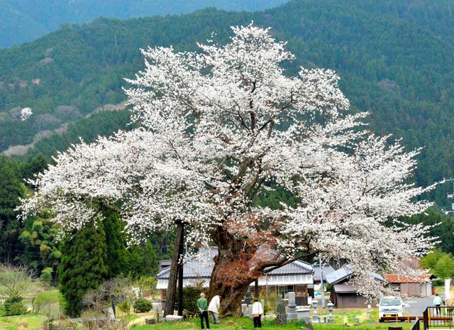 見頃を迎えた「尾所の桜」=津山市阿波