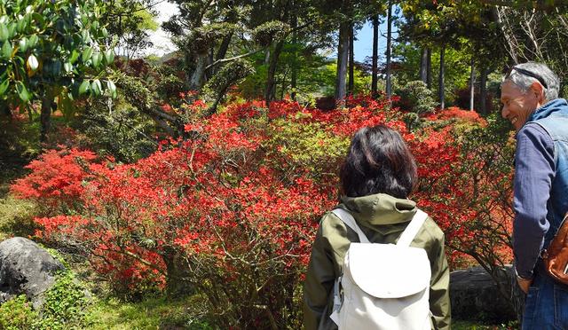 見頃を迎えた浮嶽幸花樹園のツツジ=糸島市
