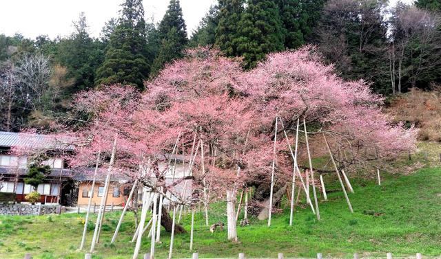 開花した臥龍桜=高山市一之宮町