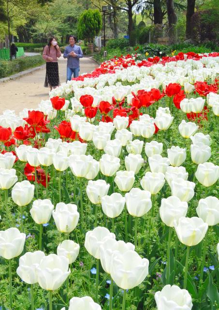 見頃を迎えたチューリップ=名古屋市北区の名城公園