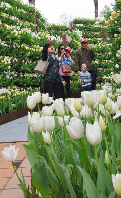 白いチューリップが敷き詰められた「花の大谷」=砺波市花園町